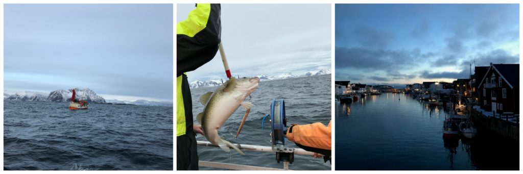 Skrei angeln auf den Lofoten (1): wie man einen richtig guten Skrei fängt