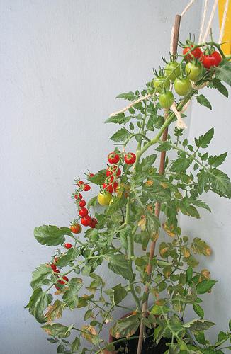 Erntezeit auf dem Balkon